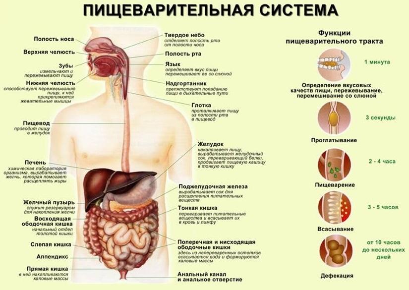 Система органов пищеварения