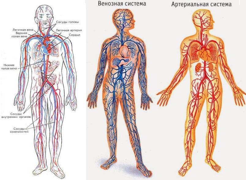 система кровеобращения -