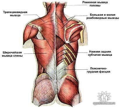 мышечная сестема