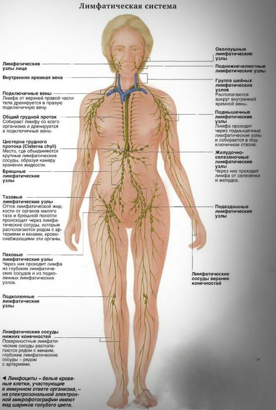 Лимфатическая система ф