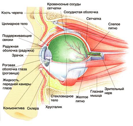 анатомия- глаза -