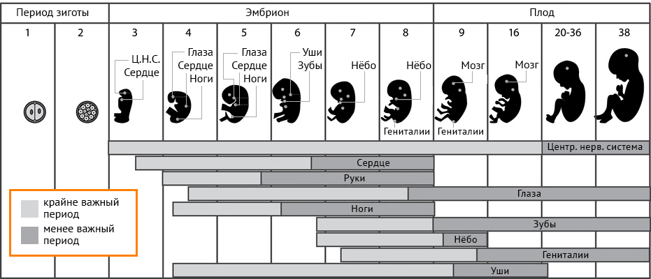 развитие эмбриона по неделям периоды развития